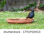 European starling  sturnus...