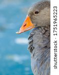 Greylag Goose With A Broken Beak