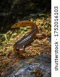 Olympic Torrent Salamander In...