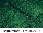 Closeup Leaf Texture. Green...
