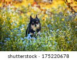 Long Hair Chihuahua Dog In The...