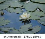 A White Flowering Water Lily...