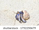 Hermit Crab Walking On The Beach