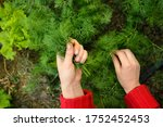 Dill  Salad On The Beds In The...