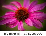 Closeup of the flowerhead of an ...