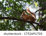 Pretty Red Squirrel Backlighted ...