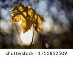Single Maple Tree Leaf Back Li...