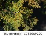 Hinoki Cypress Pygmaea   Latin...