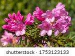 Rhododendron Ponticum Filigran  ...