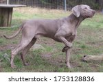 Weimaraner Dog From Germany In...
