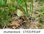 Clouded Sulphur Butterfly In...