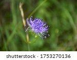 Phyteuma Orbiculare Flower....