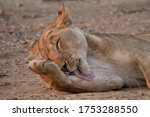 Baby Lioness Licks His Paw