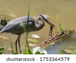Great Blue Heron With A Frog I...