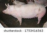 Portrait Of A Big Pig Sows...
