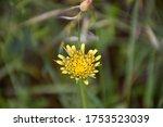 Hybrid Yellow Flower Of...