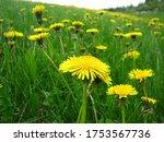 "Alberta Spring ""crop"" Of..."