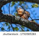 Fox Squirrel Eating A Walnut O...