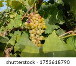 Close Up Of Grapes Hanging On...