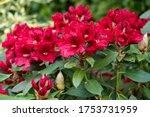 Rhododendron Hybrid Rabatz ...