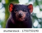 Small photo of Tasmanian devil sitting on branch at Cradle Mountain breeding and conservation facility. Tasmanian devils are a threatened carnivorous marsupial unique to Tasmania.