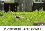 Small Ducks With Mom Duck...