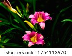 Pair Of Pink Daylilies In...