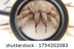 Tarantula   Spider Tarantula...