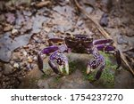 Purple Niced Coloured Crab...
