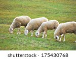Flock Of Sheep Grazing On