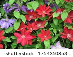 Red Large Flowered Clematis...