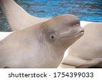 White beluga whale. cute white...