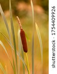 Blossom Of A Reed Cattail At...