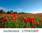 Red Poppy Field Landscape....