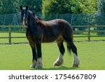 Shire Horse. Heavy Horse ...