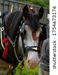 Clydesdale. Heavy Horse In...