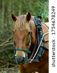 Suffolk Punc. Heavy Horse,in working harness logging in forest.
