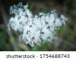 Clematis Flowers  Clematis...