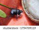A Black Beetle On An Orange...