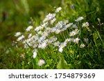 Oxeye Daisy Flowers  Latin Name ...