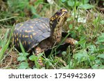 Eastern Box Turtle Looking Ove...