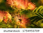Bumblebee On Mimosa Flowers In...