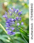 Blooming Purple Agapanthus In...