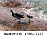 Family Of Barnacle Goose Birds...