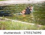 Zoo Tiger Enjoys A Bath In The...