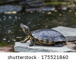 A Western Painted Turtle On A...