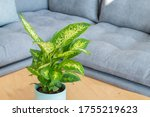 Small photo of Dieffenbachia compacta (Dumb cane) plant in modern interior house