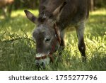 Donkey Graze In A Green Meadow. ...