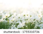 Border Of White Cosmos Flower...