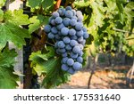large bunch of red wine grapes... | Shutterstock . vector #175531640